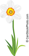 Narcissus isolated on the white