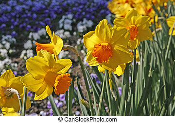 Narcissus, Lent lily, Daffodill