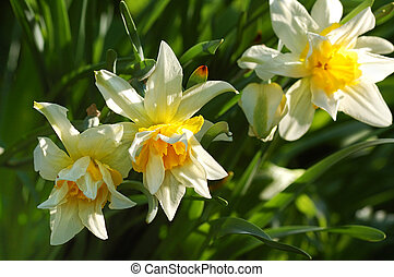 narcissus on flower bed