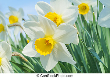 Narcissus plant flowers