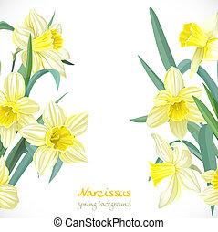 narcissus, primavera, fundo amarelo