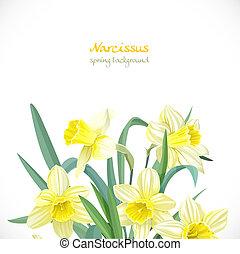 narcissus, primavera, fundo