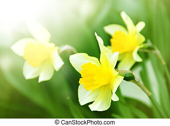 Narcissus Spring Flowers under Sunrays - Narcissus Flowers...