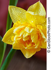 Narcissus. - Spring yellow narcissus with water drops on...