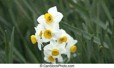 Narcissus%u3000in Japan