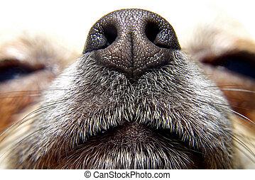 nariz, cão