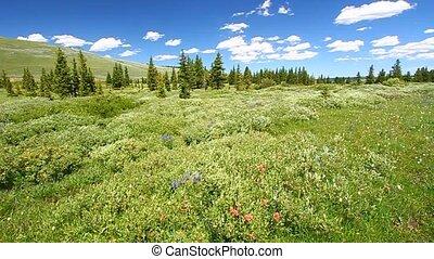 narodowy las, bighorn
