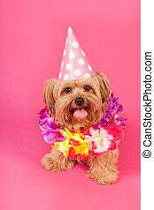 narozeniny, pes