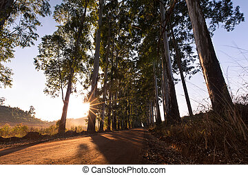 Narrow lane of eucalyptus trees with dust on dirt road