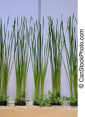 Narrow leaf cattail