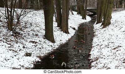 Narrow stream in winter forest - Ducklings floating in...