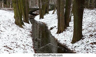 Narrow stream in winter forest - Ducks floating in narrow...