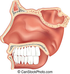 Nasal Cavity - Illustration of the nasal cavity