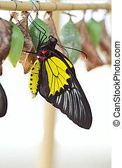 nascimento, de, a, butterfly.