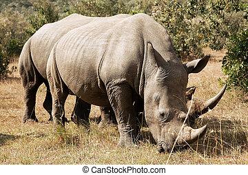 nashörner, masai, weißes, mara
