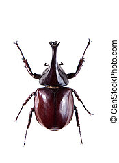 nashörner, weißer hintergrund, käfer