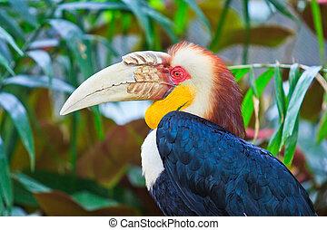 nashornvogel, groß