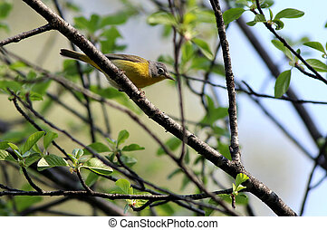 Nashville Warbler on a Branch