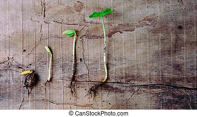 następstwo, od, kiełkowanie, niemowlę, rośliny, dorastając