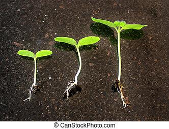 następstwo, od, niejaki, roślina, wzrost
