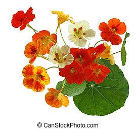 nasturtium, fiore, colorito