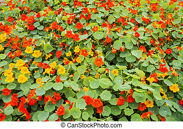 Nasturtium flower bed - Nasturtium flowers of red and yellow...