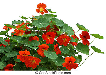Nasturtium flower Plant - Nasturtium flower plant isolated...