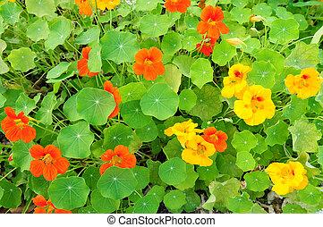 Nasturtium flowers in orange and yellow