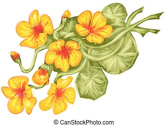 nasturtium flowers isolated on a white background