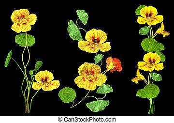nasturtium flowers isolated on black background. Summer