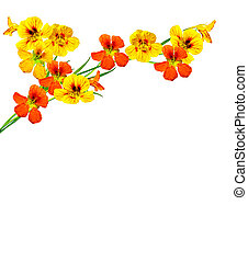 nasturtium flowers isolated on white background