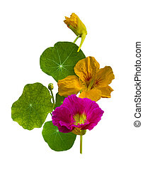 Nasturtium flowers
