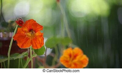 nasturtium flowers under a sprinkle