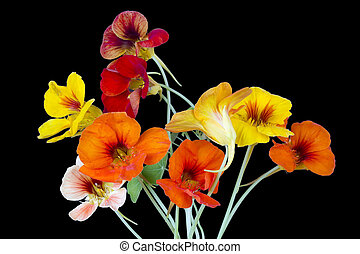 Nasturtium for Halloween - Red and yellow nasturtium for ...