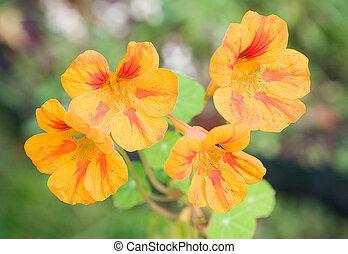 Nasturtium - Four flowers of striped nasturtium
