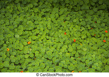 Nasturtium leaves - nasturtium leaves with flowers and the ...