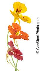 nasturtium - Studio Shot of Orange and Red Colored ...