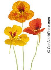 nasturtium - Studio Shot of Orange and Yellow Colored ...