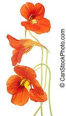 nasturtium - Studio Shot of Orange Colored Nasturtium ...