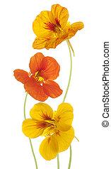 nasturtium - Studio Shot of Yellow and Orange Colored ...