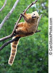 nasua coati on tree branch