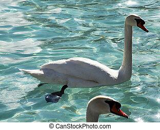 natação, cisnes