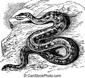 Natal rock python or Python sebae natalensis or Southern African python or Heleionomus variegates or Hortulia natalensis or Python natalensis or Dumeril & Bibron or Python saxuloides, vintage engraving. Old engraved illustration of Natal rock python.