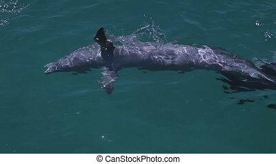 natation, coup, autour de, dauphins