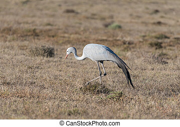 National bird of South Africa, the Blue Crane