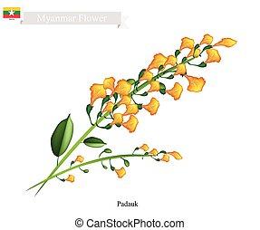 National Flower of Myanmar, Yellow Padauk Flowers - Myanmar...