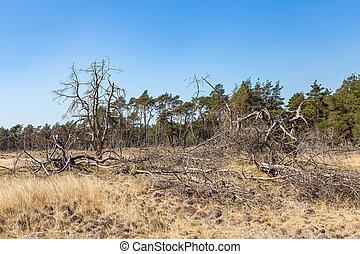 Dead trees and heather in National Park De Hoge Veluwe The Netherlands as a result of global warming