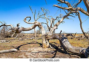 Dead trees in National Park De Hoge Veluwe The Netherlands as a result of global warming