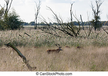National Park Oostvaardersplassen with deer in mating season...