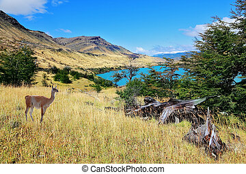 National park to Torres del Payn - a wild guanacos